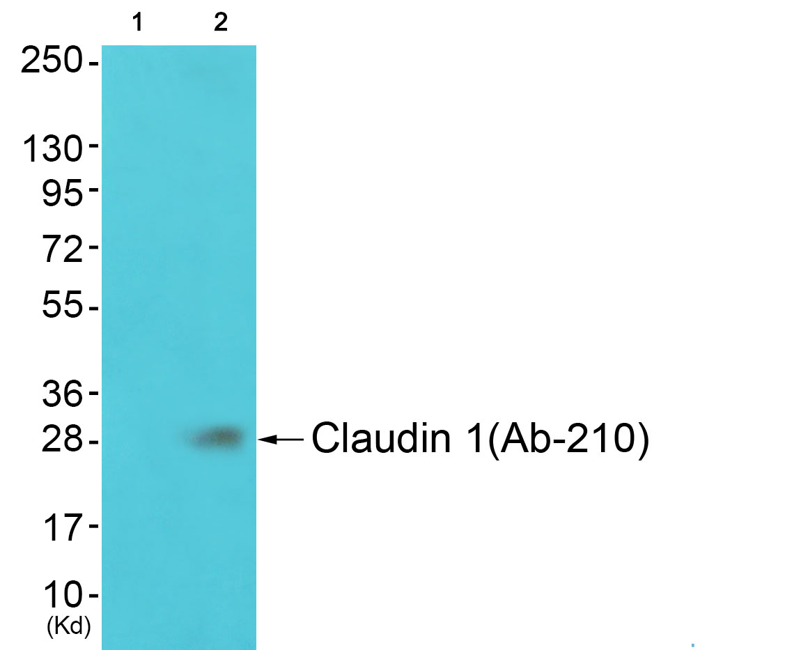 CLDN1 Antibody (OAAF01621) in JK cells using Western Blot