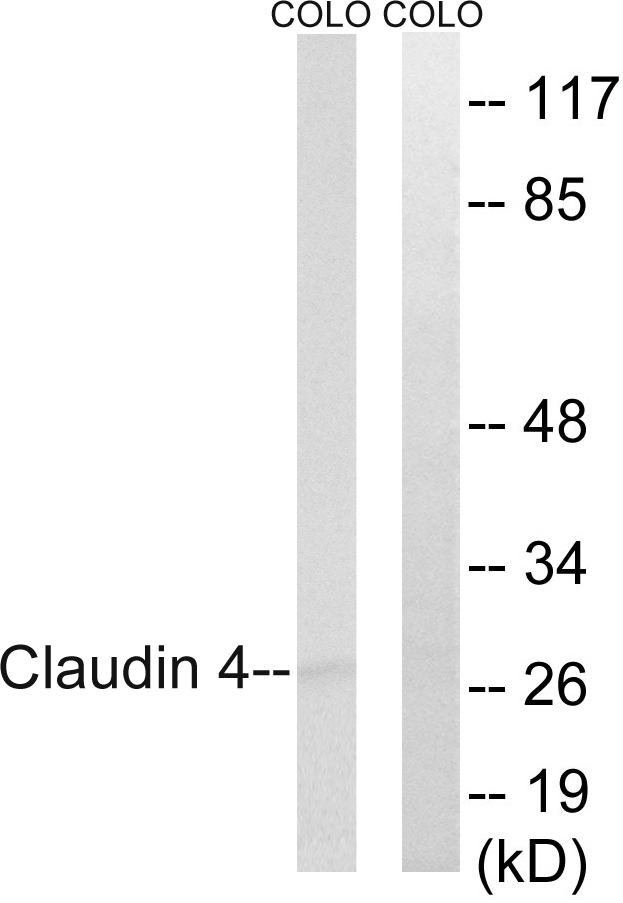 CLDN4 Antibody (OAAF01623) in COLO cells using Western Blot