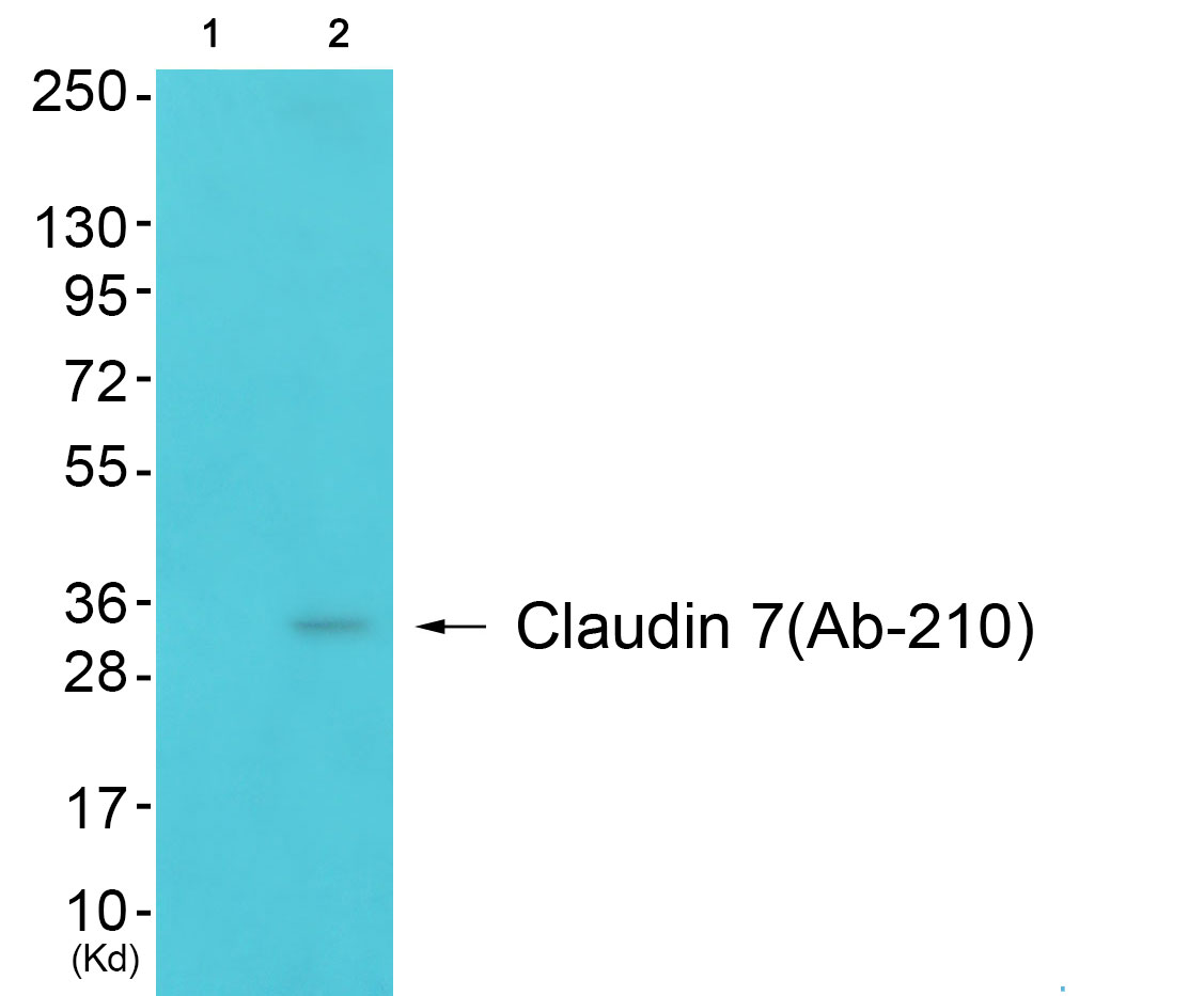 CLDN7 Antibody (OAAF01624) in 3T3 cells using Western Blot