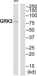 ADRBK1 Antibody (OAAF01695) in NIH-3T3 cells using Western Blot