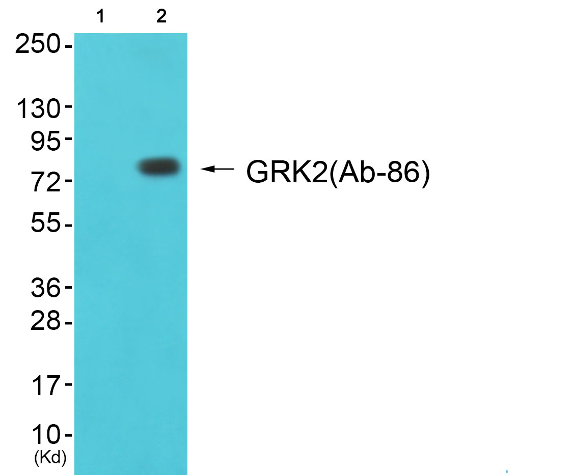 ADRBK1 Antibody (OAAF01695) in cos-7 cells using Western Blot