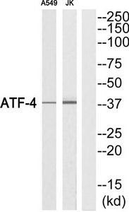 ATF4 Antibody (OAAF01709) in A549, Jurkat cells using Western Blot