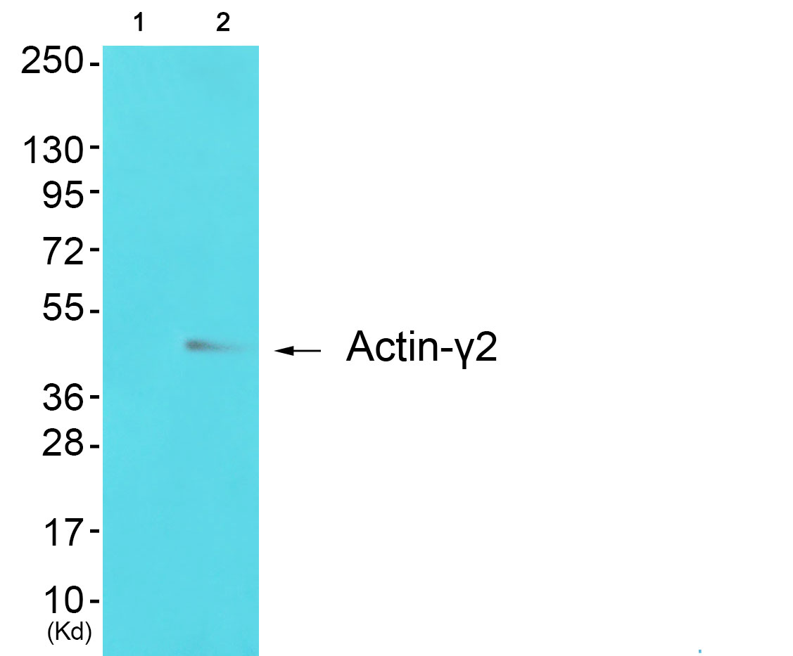 ACTG2 Antibody (OAAF01728) in 293 cells using Western Blot