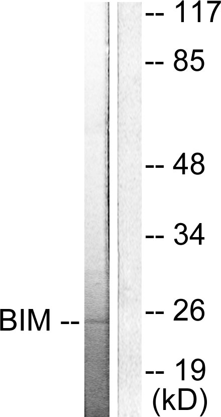BCL2L11 Antibody (OAAF01738) in COS7 cells using Western Blot