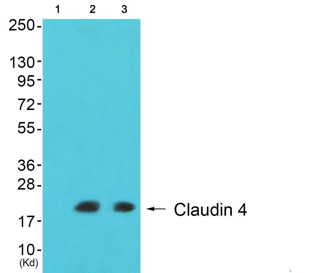 CLDN4 Antibody (OAAF01744) in 293, cos-7 cells using Western Blot
