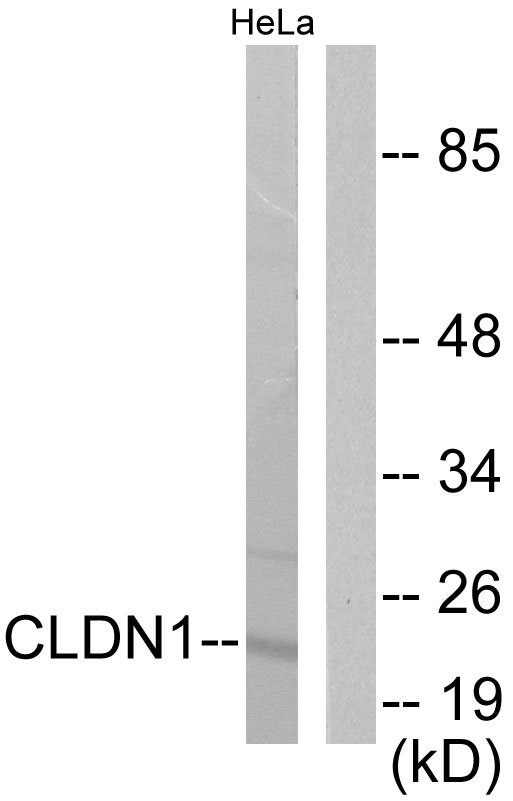 CLDN1 Antibody (OAAF01745) in HeLa cells using Western Blot