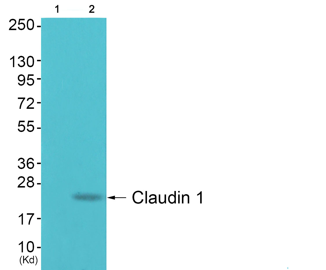CLDN1 Antibody (OAAF01745) in 293 cells using Western Blot