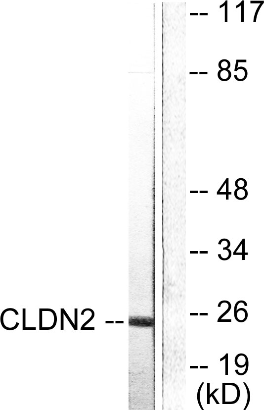 CLDN2 Antibody (OAAF01746) in NIH-3T3 cells using Western Blot