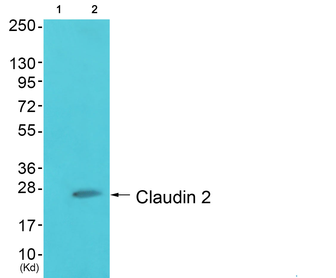 CLDN2 Antibody (OAAF01746) in HuvEc cells using Western Blot