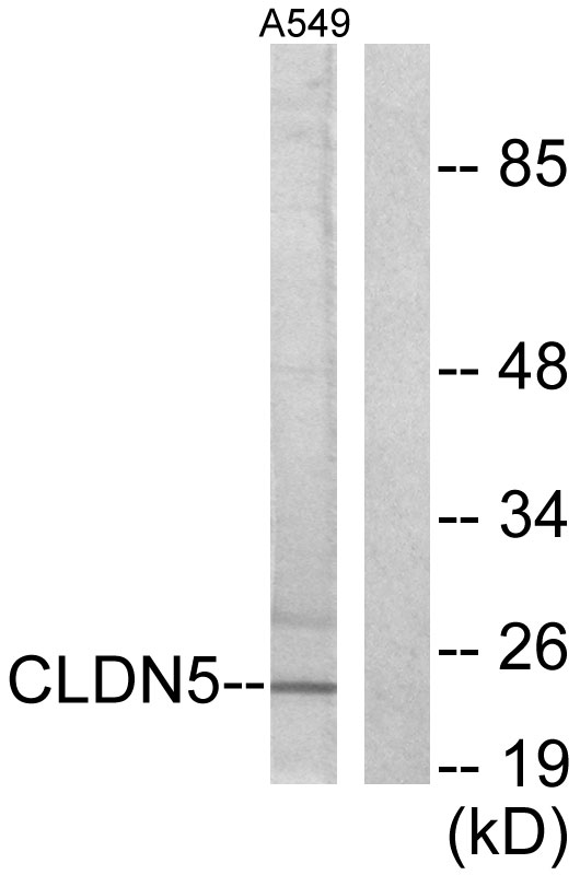 CLDN5 Antibody (OAAF01748) in A549 cells using Western Blot