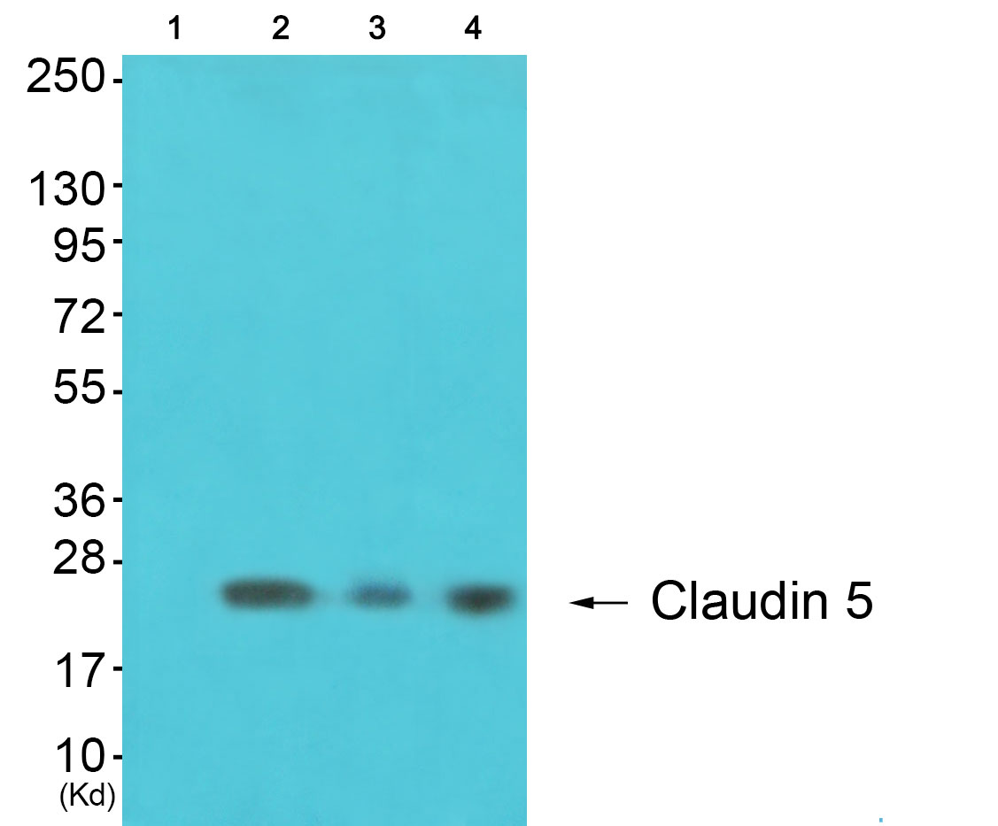 CLDN5 Antibody (OAAF01748) in 293, K562, 3T3 cells using Western Blot