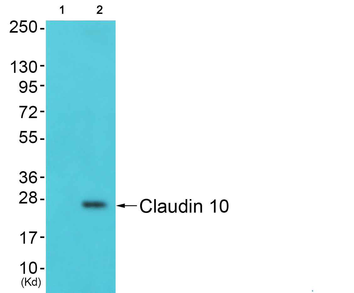 CLDN10 Antibody (OAAF01754) in A549 cells using Western Blot