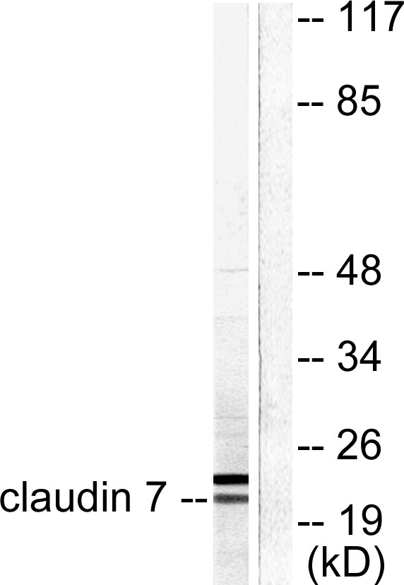 CLDN7 Antibody (OAAF01756) in 293 cells using Western Blot