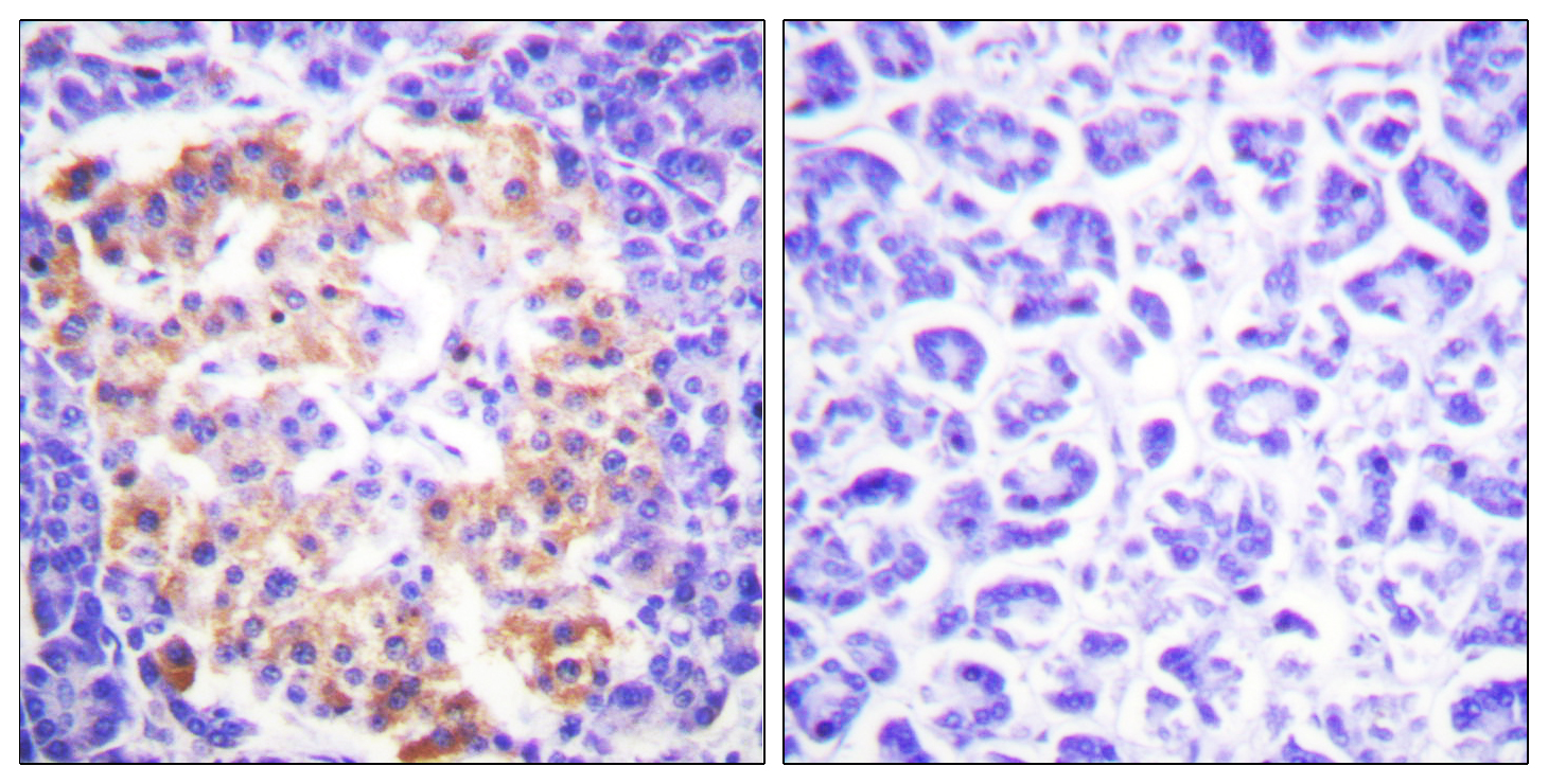 COL3A1 Antibody (OAAF01759) in Human pancreas cells using Immunohistochemistry