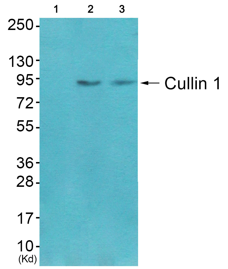 CUL1 Antibody (OAAF01765) in CoLo , 3T3 cells using Western Blot