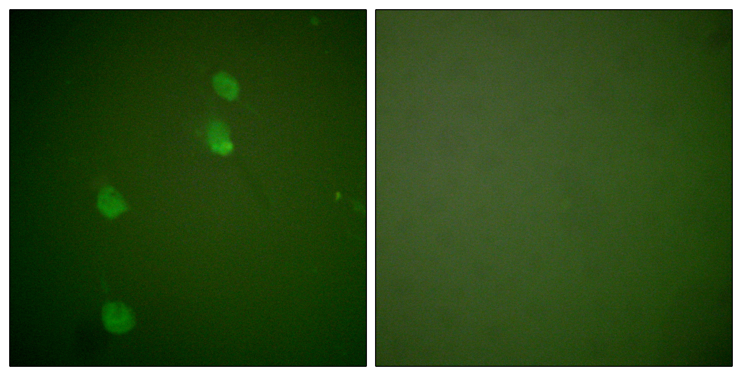 CUL2 Antibody (OAAF01766) in NIH/3T3 cells using Immunofluorescence