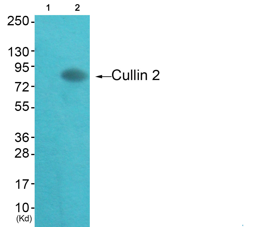 CUL2 Antibody (OAAF01766) in HepG2 cells using Western Blot