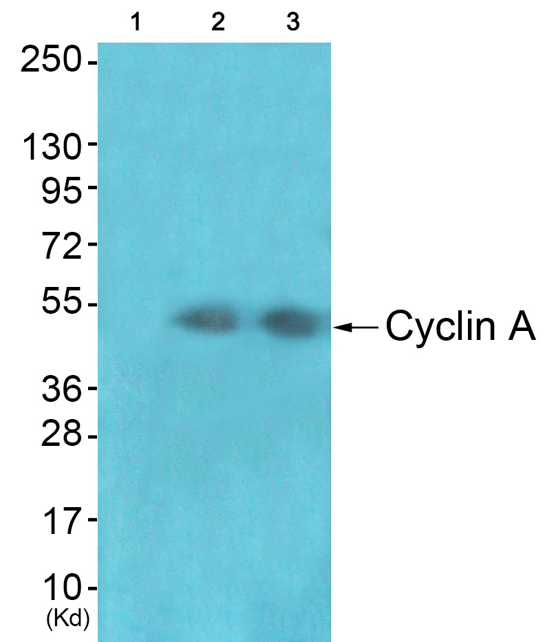 CCNA1 Antibody (OAAF01768) in JK, cos-7 cells using Western Blot