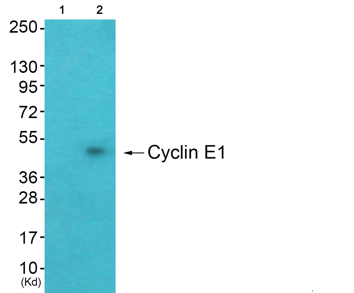 CCNE1 Antibody (OAAF01770) in A549 cells using Western Blot
