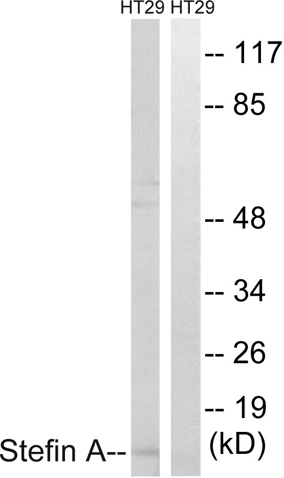 CSTA Antibody (OAAF01927) in A549 cells using Western Blot