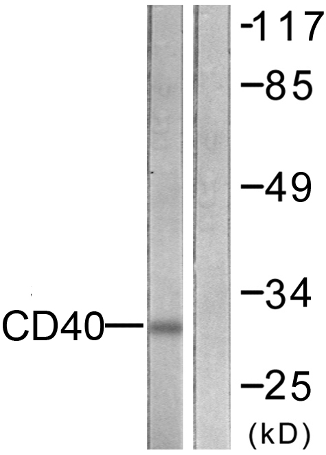 CD40 Antibody (OAAF01948) in COS7 cells using Western Blot