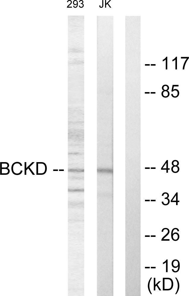 BCKDK Antibody (OAAF02006) in 293, Jurkat cells using Western Blot