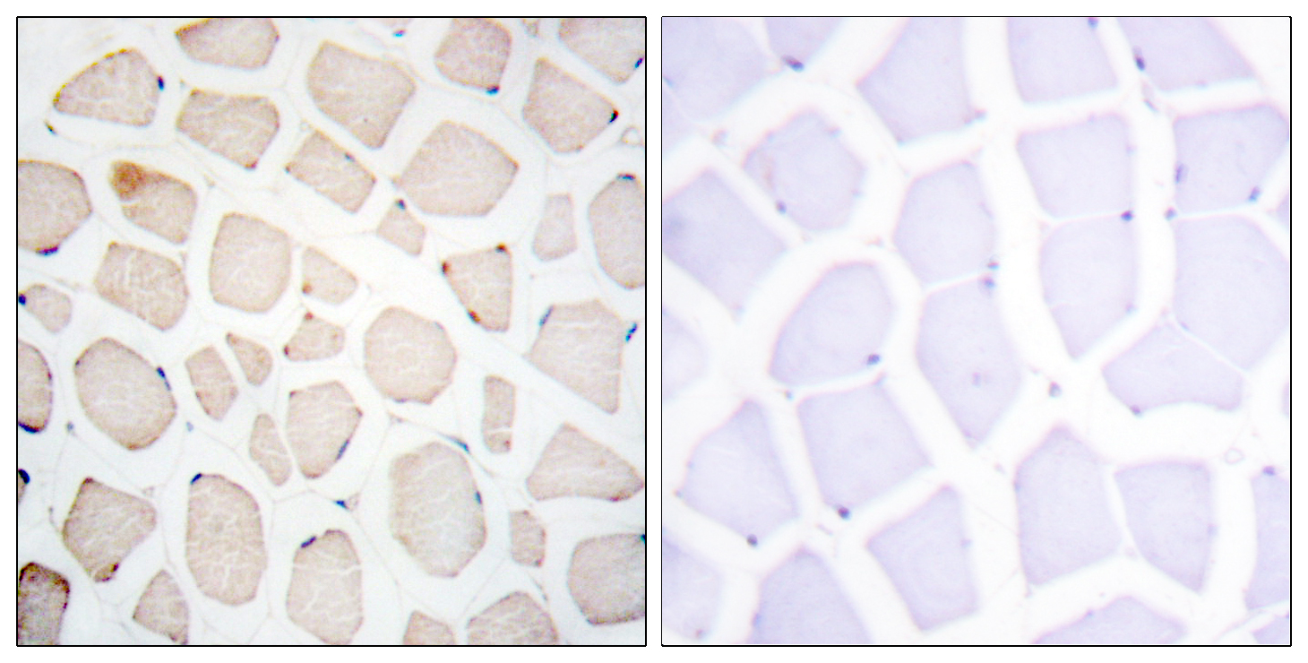 Clock Antibody (OAAF02018) in Human skeletal muscle cells using Immunohistochemistry