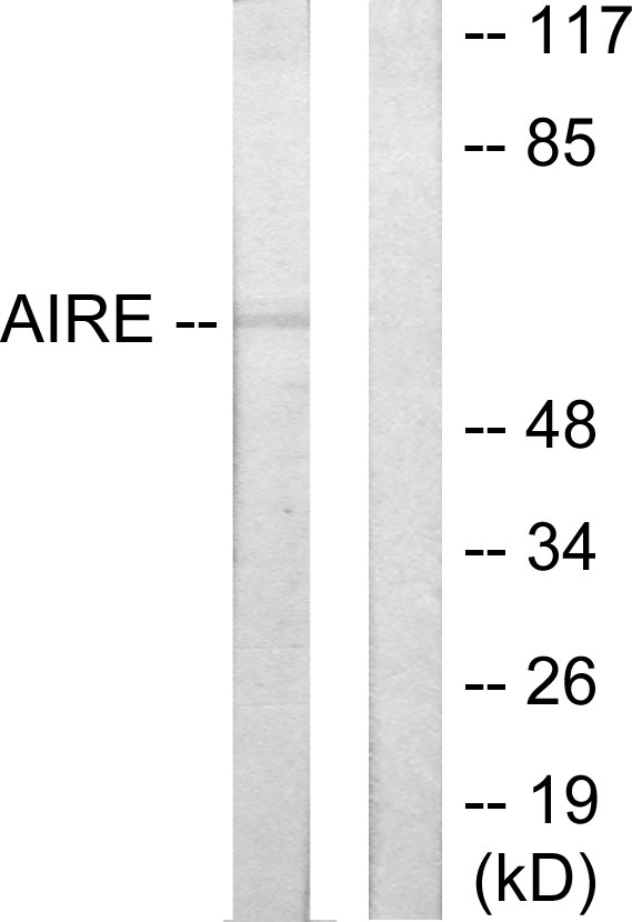 AIRE Antibody (OAAF02030) in 293 cells using Western Blot