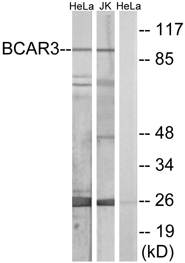 BCAR3 Antibody (OAAF02061) in HeLa, Jurkat, HUVEC cells using Western Blot