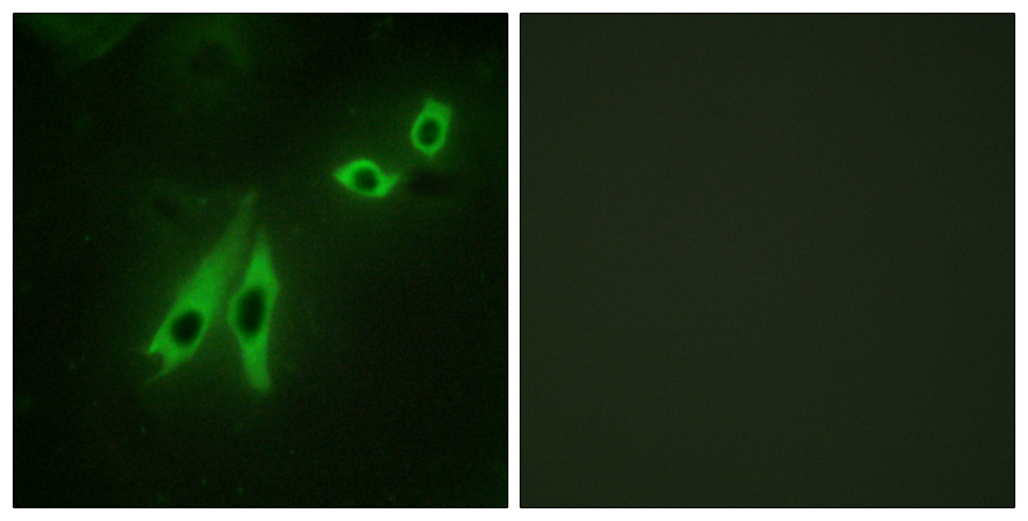 AKAP3 Antibody (OAAF02067) in NIH/3T3 cells using Immunofluorescence