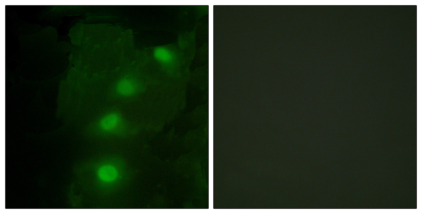 ALX3 Antibody (OAAF02072) in HeLa cells using Immunofluorescence