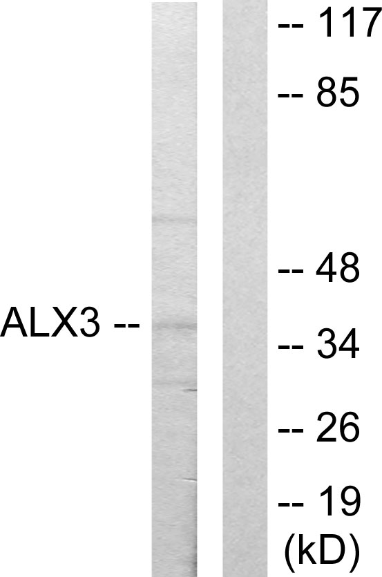 ALX3 Antibody (OAAF02072) in 293 cells using Western Blot