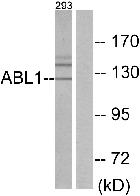 ABL1 Antibody (OAAF02097) in 293 cells using Western Blot