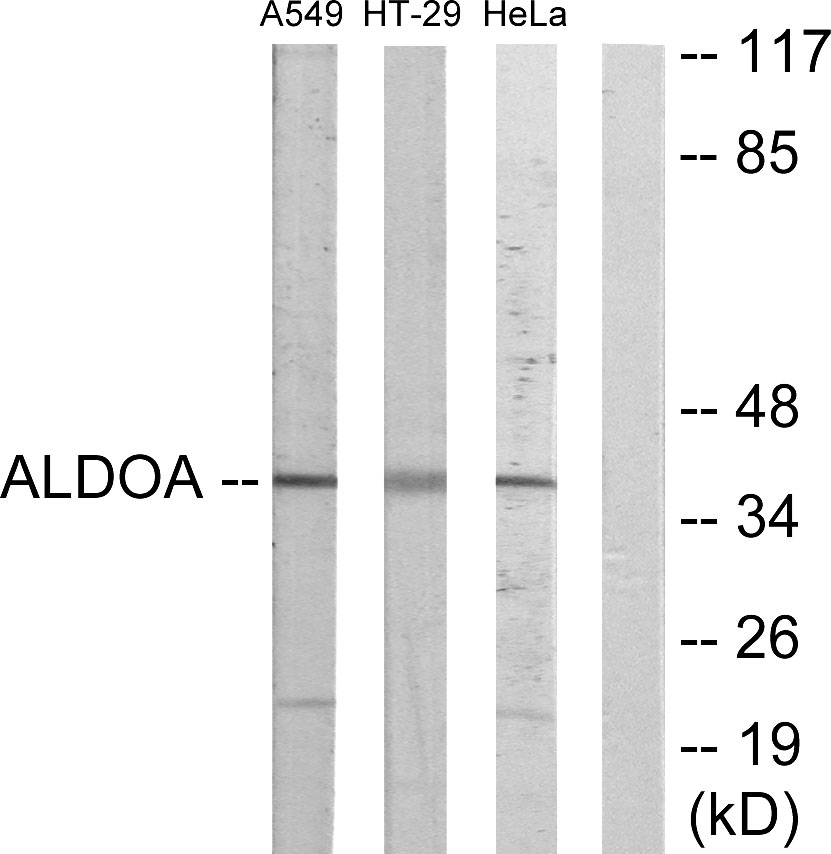 ALDOA Antibody (OAAF02106) in A549, HT-29, HeLa cells using Western Blot