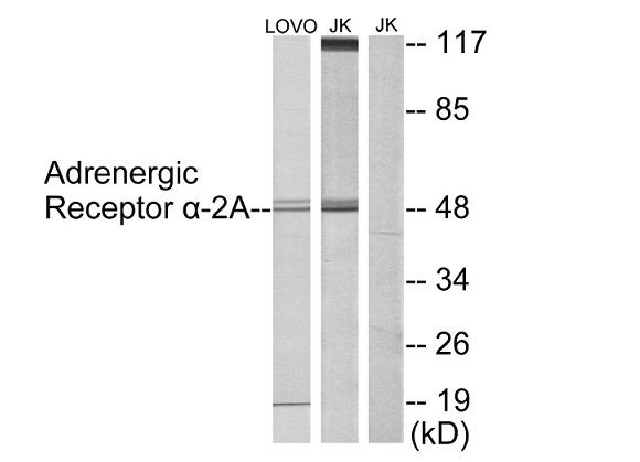 ADRA2A Antibody (OAAF02121) in LOVO, Jurkat cells using Western Blot