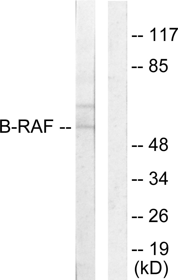 BRAF Antibody (OAAF02150) in HeLa cells using Western Blot