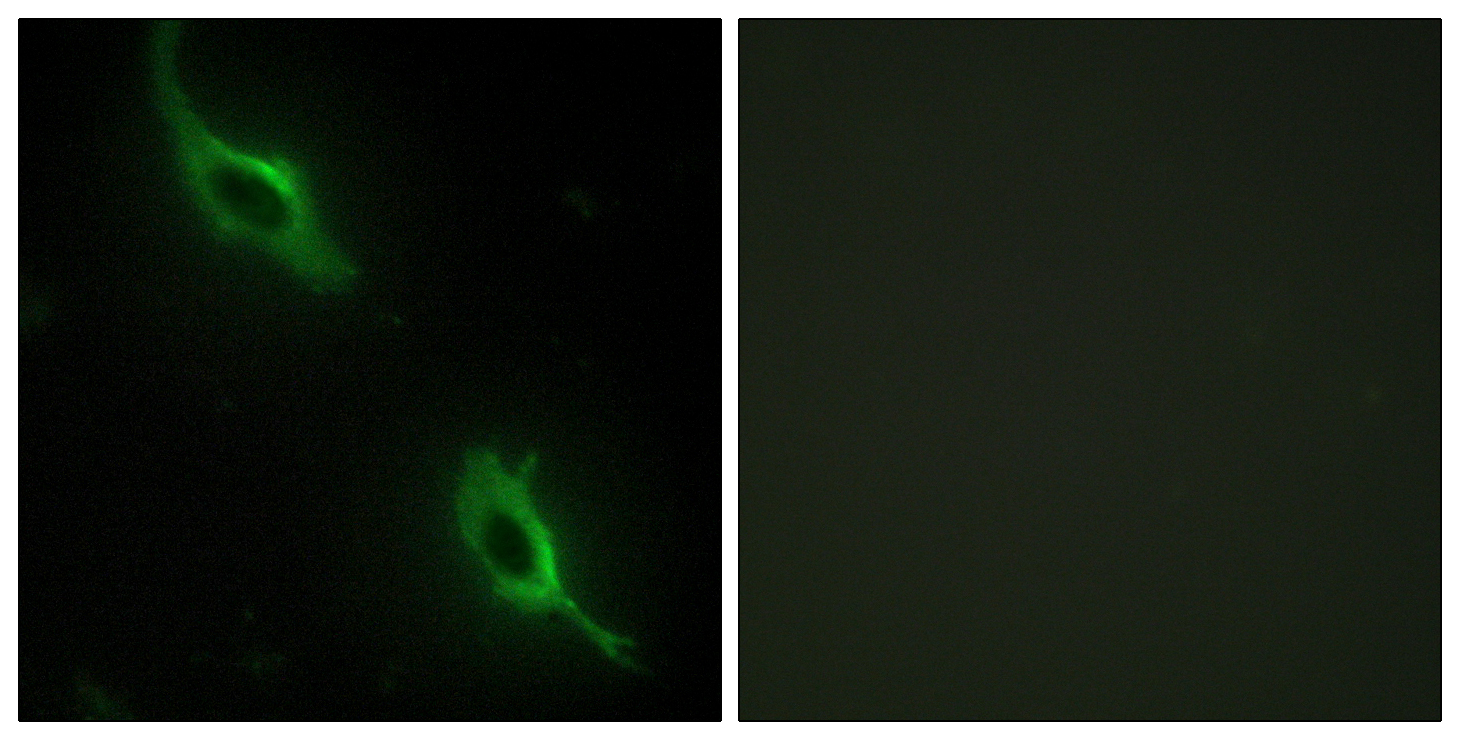 CKMT2 Antibody (OAAF02164) in NIH/3T3 cells using Immunofluorescence