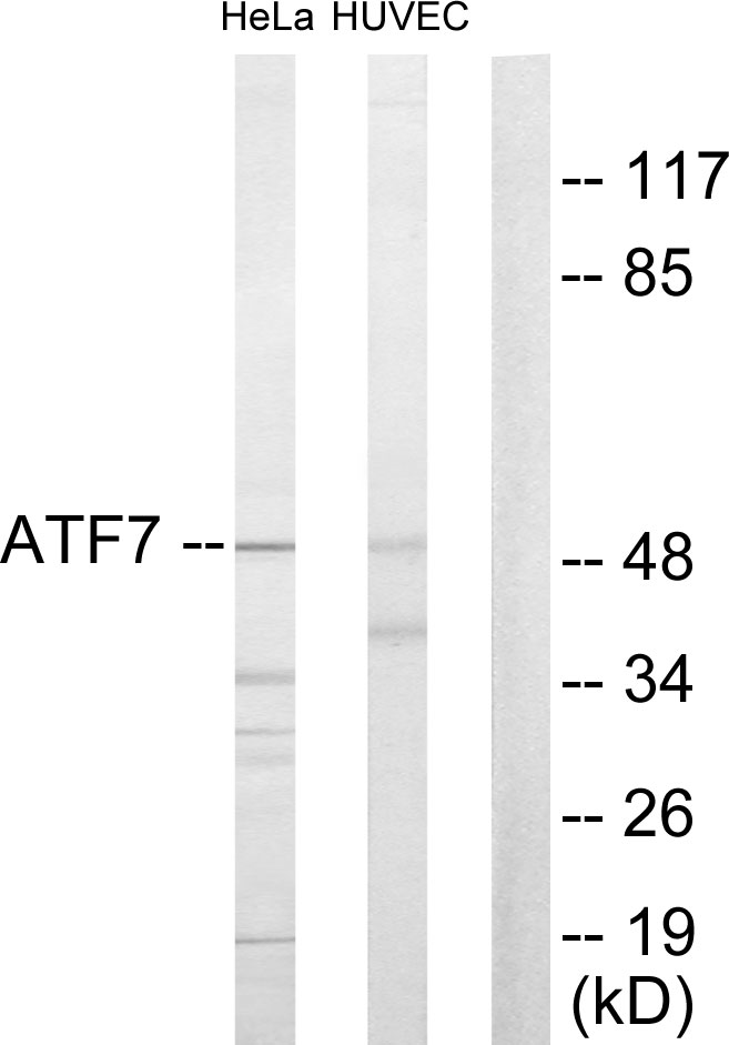 ATF7 Antibody (OAAF02165) in HeLa, HuvEc cells using Western Blot