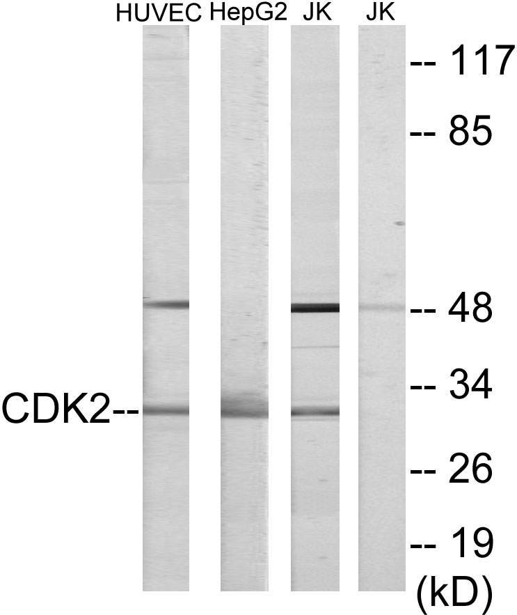 CDK2 Antibody (OAAF02201) in HUVEC, HepG2, Jurkat cells using Western Blot