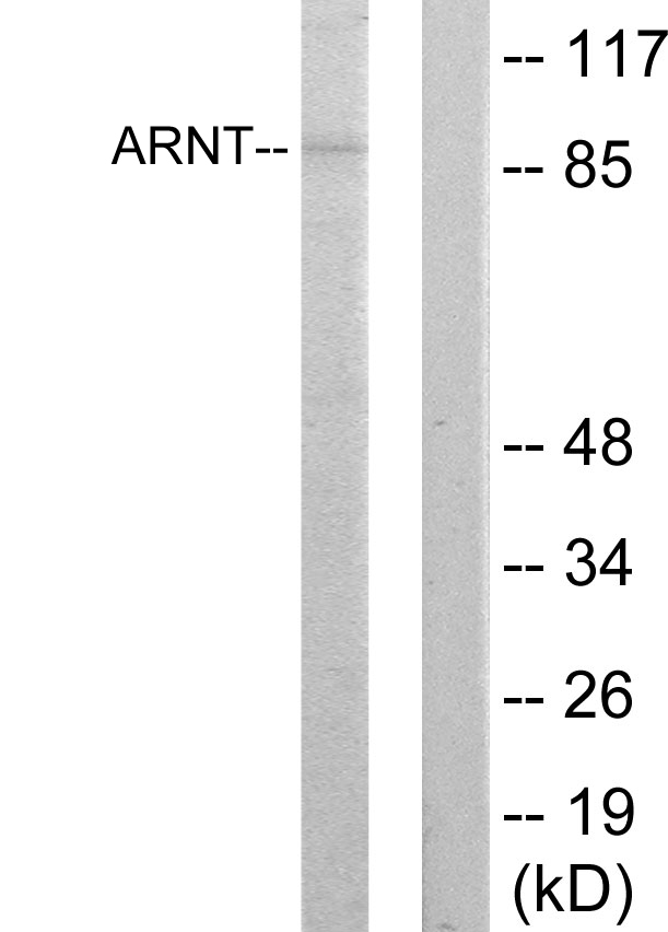 ARNT Antibody (OAAF02210) in HepG2 cells using Western Blot