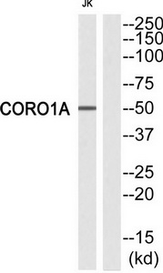 CORO1A Antibody (OAAF02227) in Jurkat cells using Western Blot