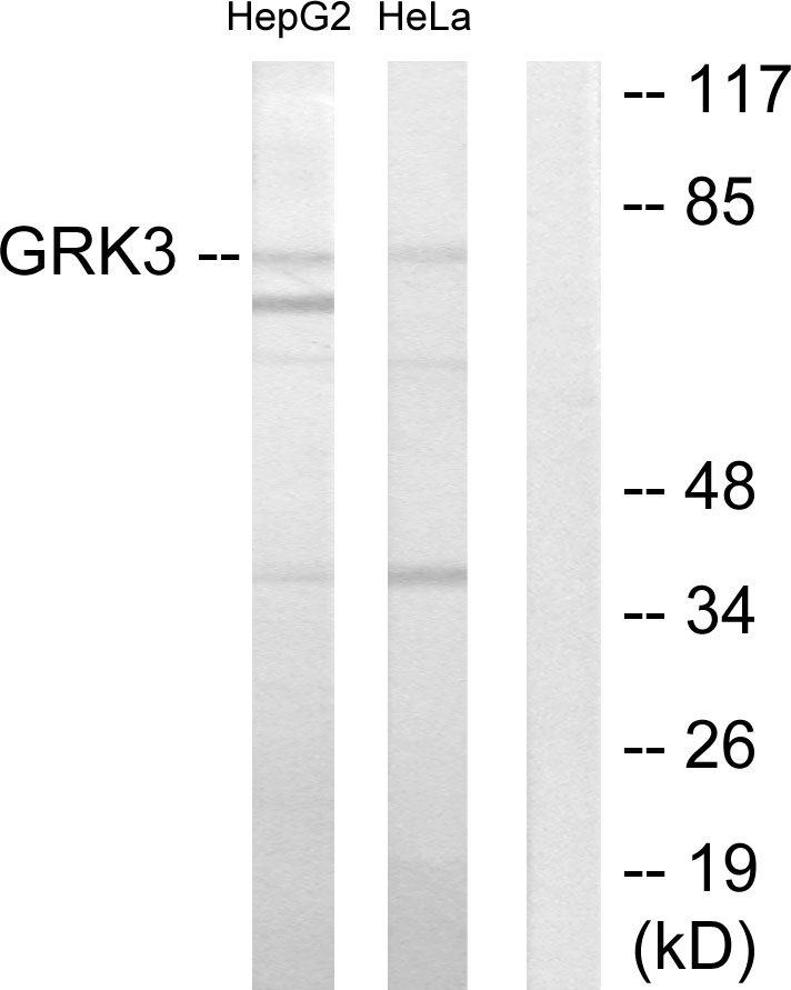 ADRBK2 Antibody (OAAF02246) in HepG2, HeLa cells using Western Blot