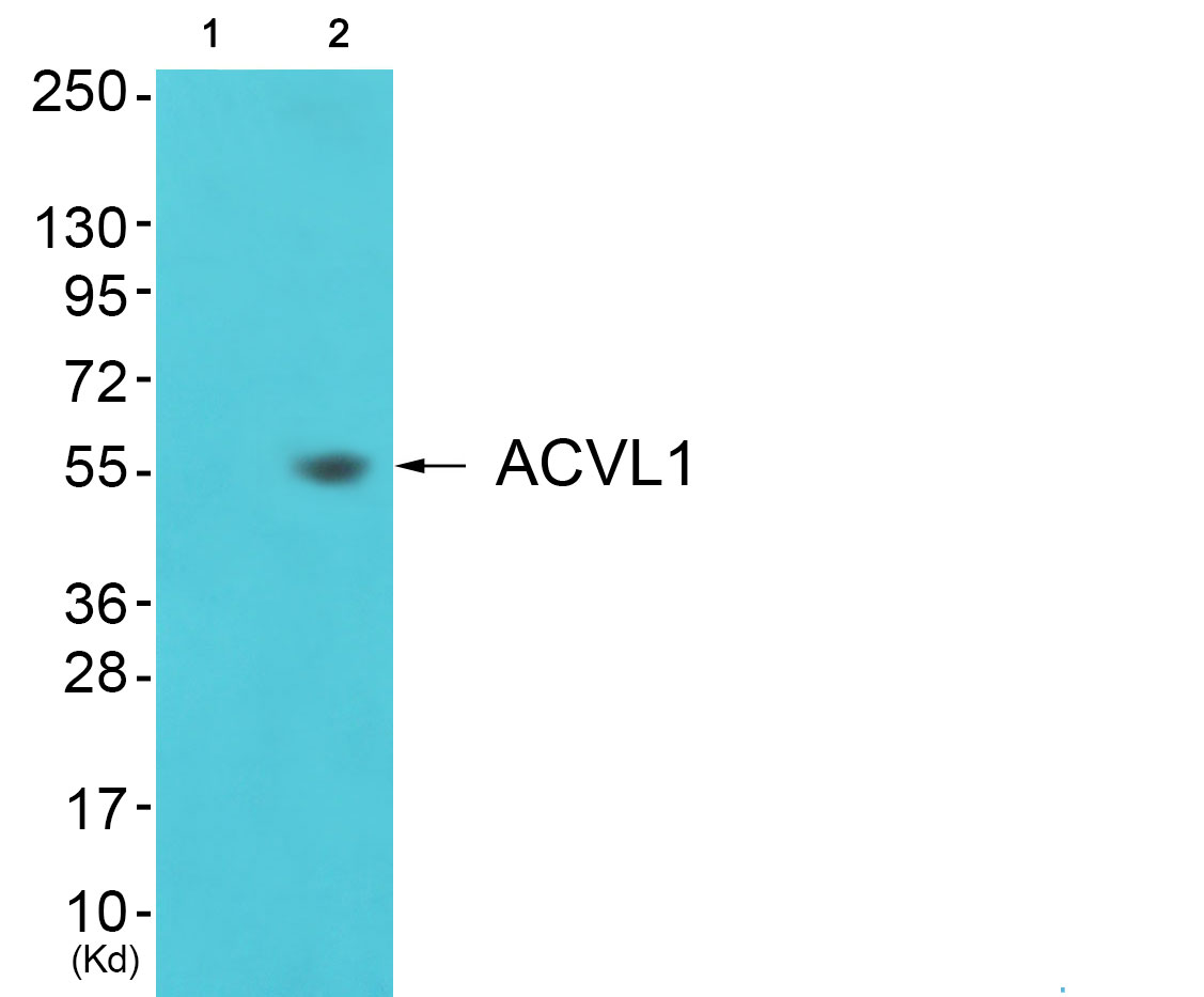 ACVRL1 Antibody (OAAF02253) in 3T3 cells using Western Blot