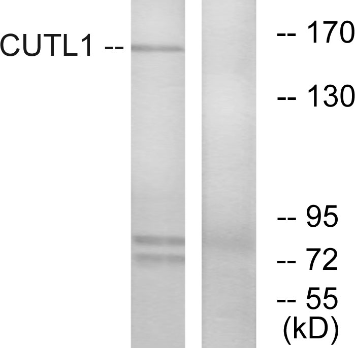 CUX1 Antibody (OAAF02256) in K562 cells using Western Blot