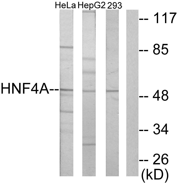 HNF4A Antibody (OAAF02260) in HeLa, HepG2, 293 cells using Western Blot