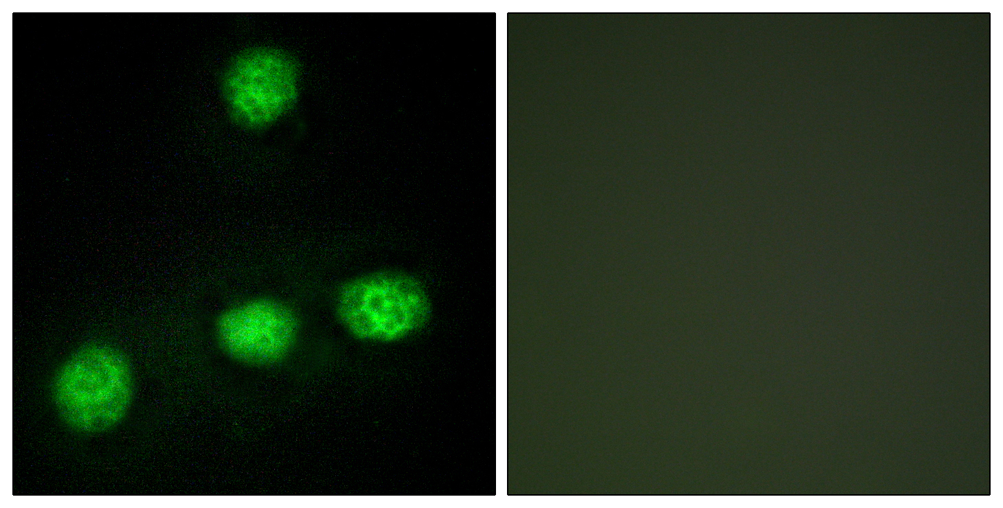 CLK1 Antibody (OAAF02282) in HUVEC cells using Immunofluorescence