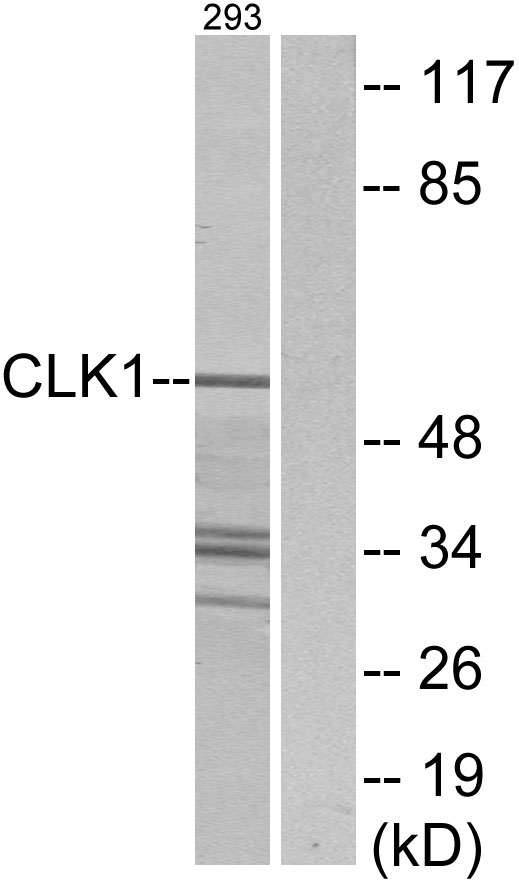 CLK1 Antibody (OAAF02282) in 293 cells using Western Blot
