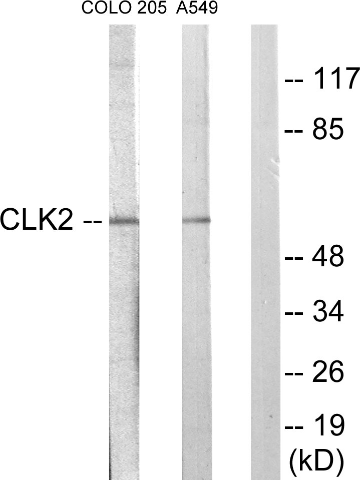 CLK2 Antibody (OAAF02283) in COLO205, A549 cells using Western Blot