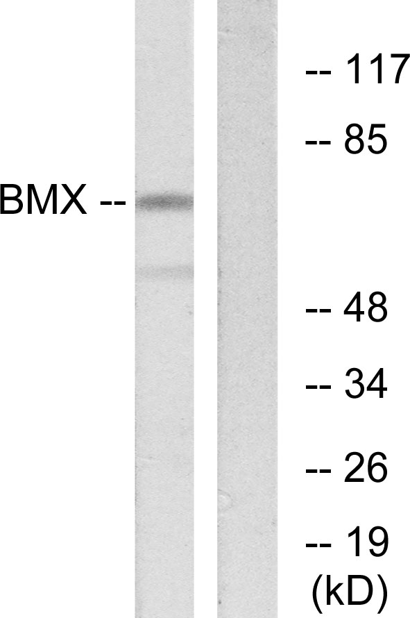BMX Antibody (OAAF02297) in COS-7 cells using Western Blot