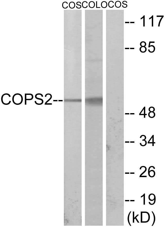 COPS2 Antibody (OAAF02335) in COS-7, COLO205 cells using Western Blot